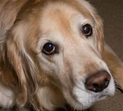 golden retriever eye infection golden retriever eye breeds picture