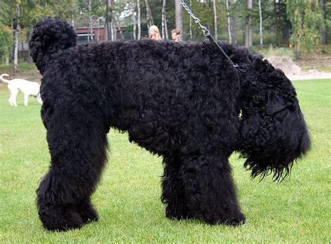black russian terrier puppies black russian terrier