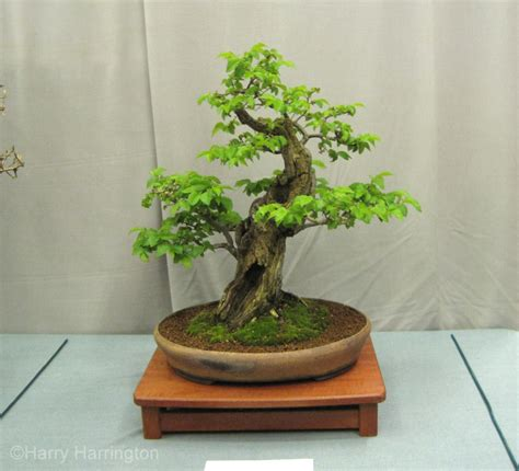 Bakalan Bonsai Ulmus Grouping images from the 2012 wessex bonsai show uk