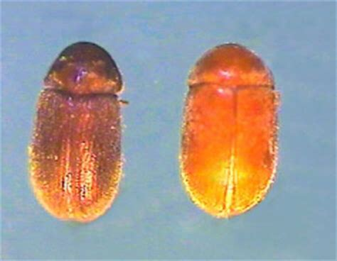 Cupboard Bugs - insects in your food pantry nebraska extension in