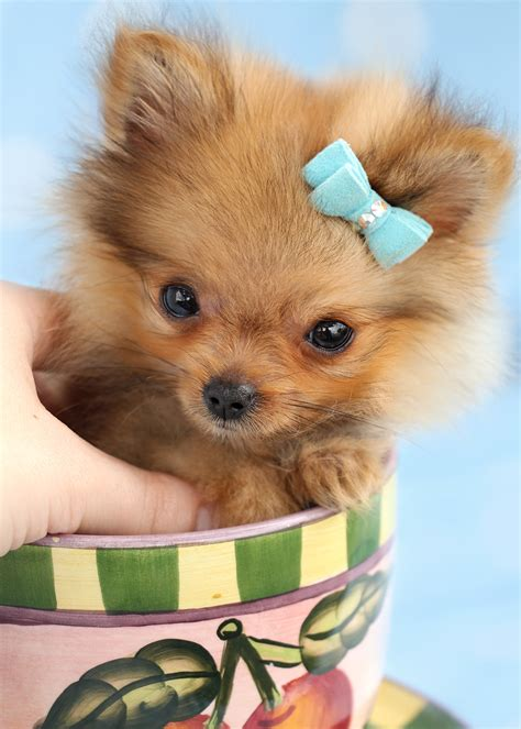 pomeranian puppies for sale florida pin images of pomeranian puppies for sale at teacups south florida picture on