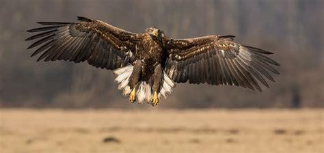 imagenes de aguilas sin fondo un 225 guila con las alas extendidas hd 2048x971 imagenes