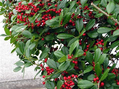 christmas plants christmas plants can last for years tbo com