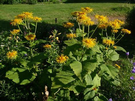 Pflanzen Im Garten Umsetzen by Alant Umsetzen Garten Gartenforum De