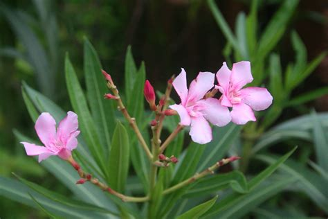 file nerium oleander flower jpg wikimedia commons
