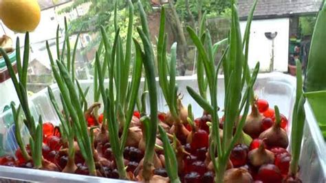 Benih Bawang Merah Yg Bagus menanam bawang merah hidroponik hidrafarm