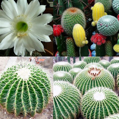 Indoor Plant Seeds | 20pcs mixture of cactus flower color plant beautiful