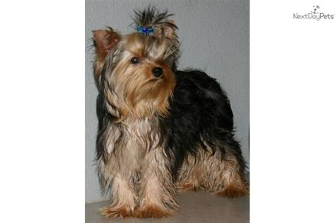 what age is a yorkie puppy grown the gallery for gt yorkie grown size