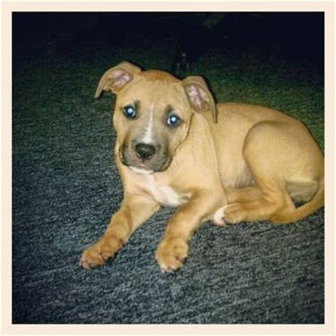 puppys for sale cheap blue nose pitbull puppies for sale cheap for sale in gardner