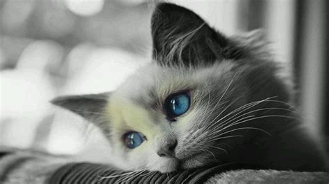 wallpaper blue cat cat blue eyes wallpaper www pixshark com images