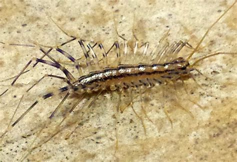 centipede looking bug in bathroom millipedes in bathroom 28 images learn more about your arthropods rob dunn lab