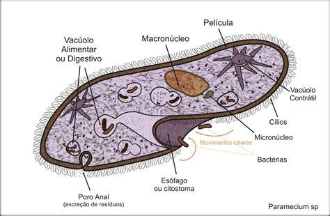 paramecium diagram file paramecium sp jpg
