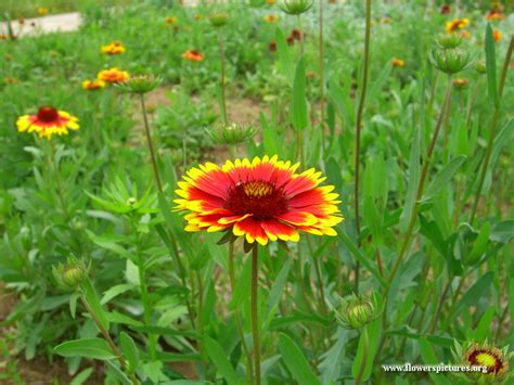 photos of flowers blanket flower pictures free blanket flower photos