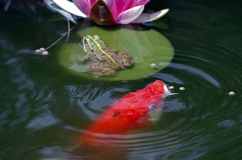 Water Heater Kolam Ikan mengatasi air hijau green water pada kolam ikan hias