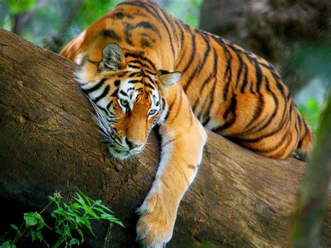 imagenes artisticas de tigres nuevas im 225 genes hd de tigres fondos de escritorio gratis