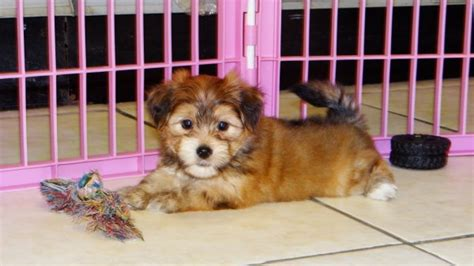 yorkie ton temperament looking yorkie ton puppies for sale in atlanta ga at atlanta columbus