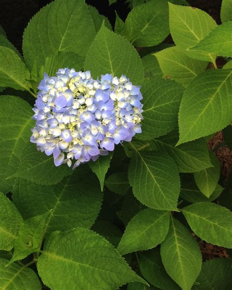 how to change hydrangea flower color hgtv
