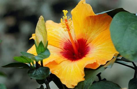 Yellow Hibiscus State Flower Of Hawaii Http Wp Me P1gkzp | hawaii state symbols state flower bird fish and more