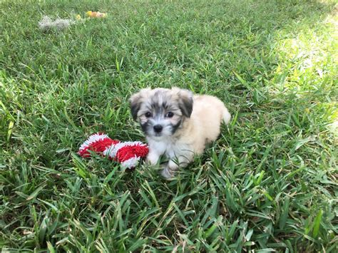 puppies for sale ocala fl malshi maltese shih tzu pups for sale ocala florida michelines pups3 micheline s pups