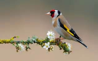 american goldfinch wallpaper 12918