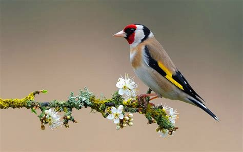 gold wallpaper with birds american goldfinch wallpaper 710036