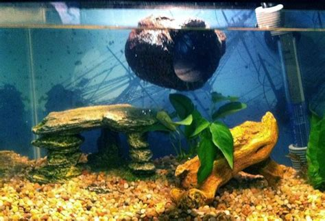 floating log betta  fish love pinterest