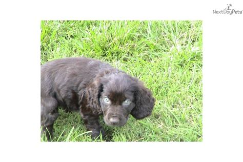 boykin spaniel puppies for sale in ga pin boykin spaniel puppy pictures on