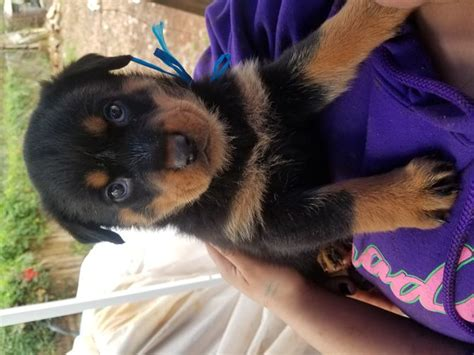 how to care for a 6 week puppy how to care for a rottweiler puppy 14 steps with pictures