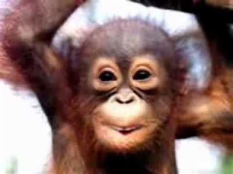 scimmia sedere rosso divertente scimmietta canta hd