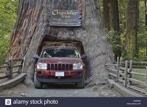 tree jeep jeep drives through a redwood sequoia sempervirens in