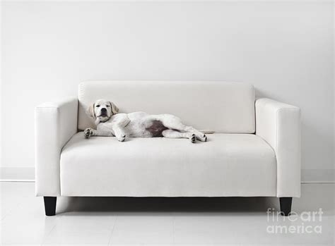 lazy on the couch lazy dog on the sofa photograph by diane diederich