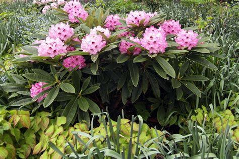 Schneiden Rhododendron by Rhododendron Schneiden Wann Und Wie Richtig Schneiden