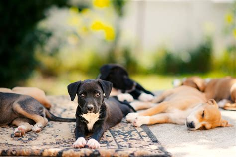 puppy kennel cough kennel cough in puppies