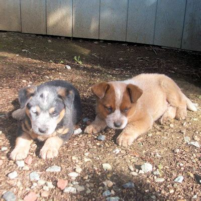 australian cattle puppies california australian cattle puppies for sale goldenacresdogs