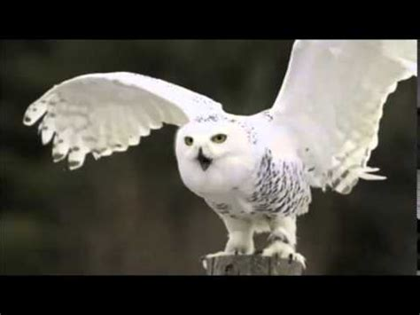 snowy owl sound call youtube