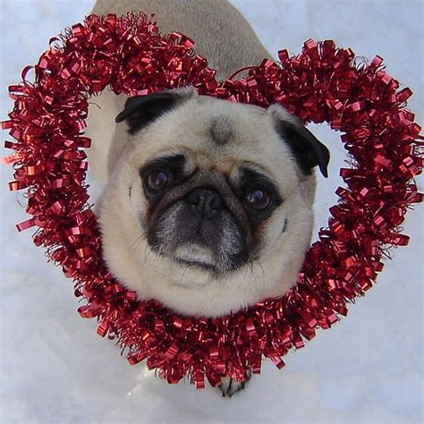 pug hearts pug pugs photo 33465625 fanpop