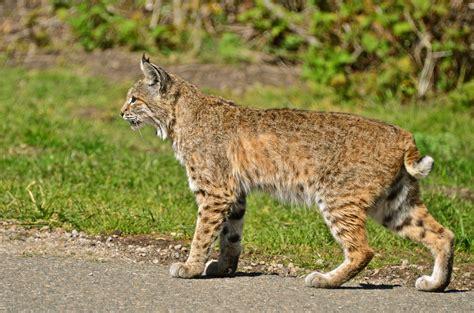 File:Bobcat Montana de Oro.jpg - Wikimedia Commons