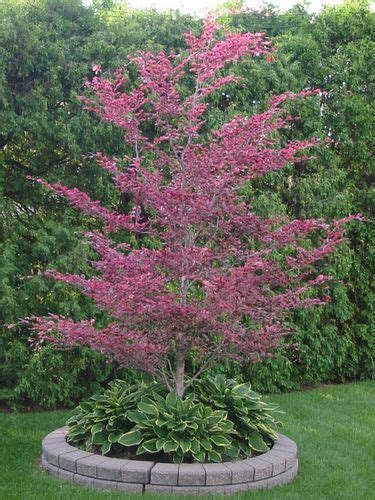tri color beech tree problems tri color beech tree problems recent photos the commons
