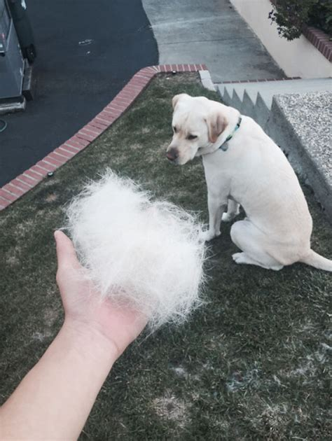 Hair Shedding In Dogs by 15 Pics That Perfectly Sum Up A Pet The