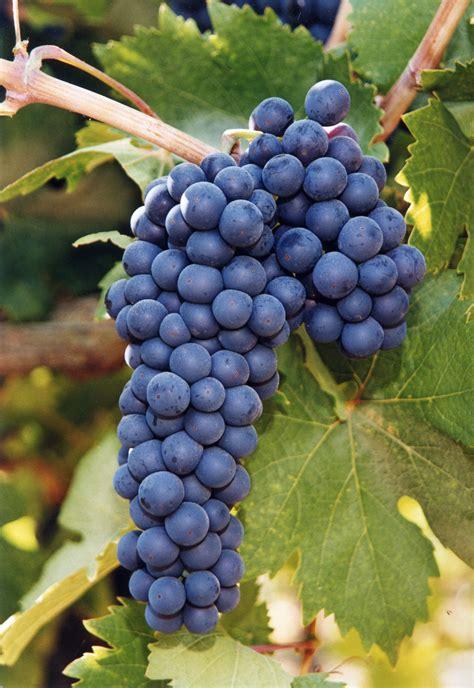 Best Fruit Tree For Backyard Spotlight On Lodi Zinfandel The Alcohol Professor