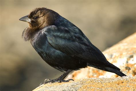 brown headed cowbird bird light wind