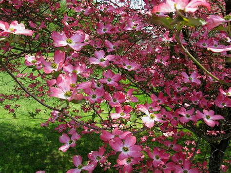 file pink dogwood tree flower west virginia