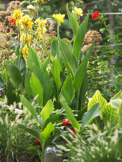 tropical perennial plants 100 best perennials images on