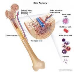 anatomy of the bone drawing shows spongy bone marrow