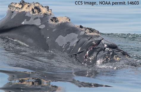 dennis cape cod weather whale struck injured in cape cod bay