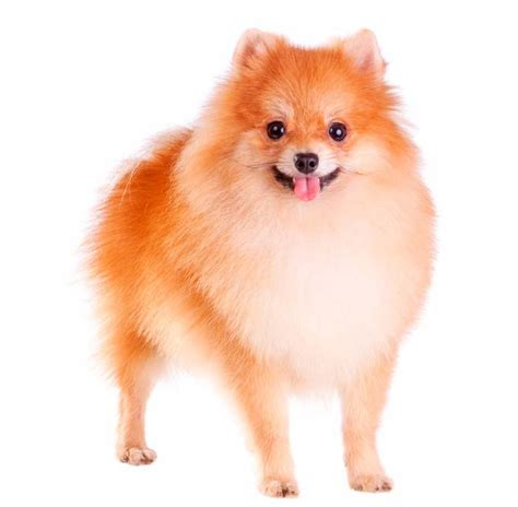 pomeranian disposition pomeranian temperament