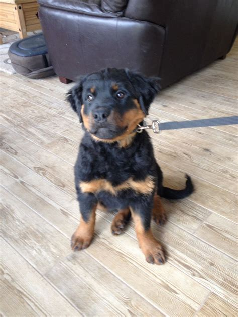 4 month rottweiler beautiful coat rottweiler 4 month basildon essex pets4homes