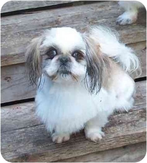 shih tzu breeders in washington state sissy adopted sissy 100d 08 seattle c o kingston 98346 washington state wa