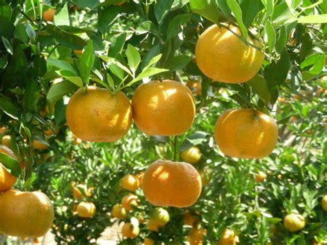 Bibit Buah Kiwi Dataran Rendah teknologi budidaya jeruk sehat kpri citrus