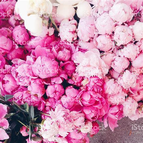 pink peonies pink peonies stock photo 509316400 istock